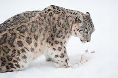 De luipaard van de sneeuw (lat. Uncia van Uncia) Stock Afbeelding