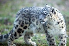 De luipaard van de sneeuw - leopard des neiges Royalty-vrije Stock Foto