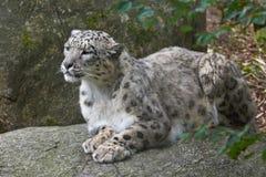 De luipaard van de sneeuw (pantherauncia) Stock Afbeeldingen