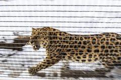 De luipaard van het Verre Oosten in een woede klaar aan te vallen dierentuin Moskou, Rusland stock foto's