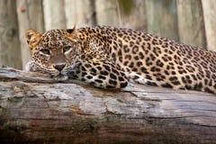 De luipaard van Lankan van Sri Royalty-vrije Stock Foto