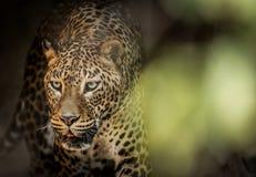 De Luipaard van Lankan van Sri royalty-vrije stock afbeelding
