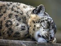 De Luipaard van de slaapsneeuw Royalty-vrije Stock Afbeeldingen