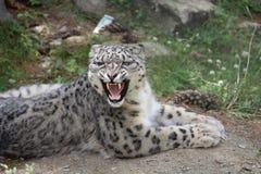 De Luipaard van de sneeuw royalty-vrije stock foto's