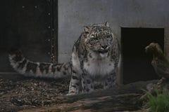 De luipaard van de sneeuw in gevangenschap royalty-vrije stock fotografie