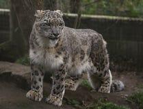 De luipaard van de sneeuw in gevangenschap stock foto's