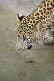 De Luipaard van Sri Lanka Stock Foto's