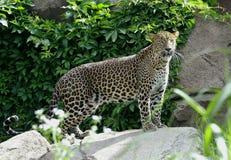 De Luipaard van Sri Lanka Stock Afbeeldingen