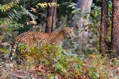 De luipaard is waakzaam stock afbeelding