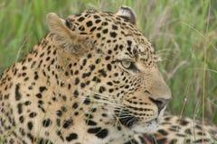 De luipaard ziet eruit Royalty-vrije Stock Foto