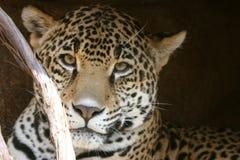 De luipaard ziet eruit Royalty-vrije Stock Afbeeldingen