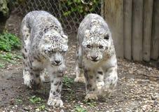 De Luipaarden van de sneeuw Stock Afbeeldingen
