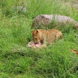De lunch van de leeuw stock fotografie