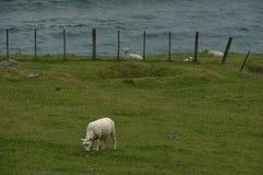 De lunch van schapen Stock Foto