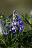 De lupinebloem van Nootka in bloei Stock Foto's