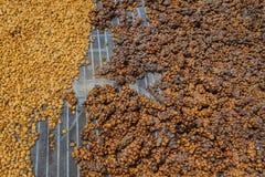 De Luwakkoffie, vuile koffiebonen, Kopi luwak is koffie die deel-verteerde die koffiekersen omvat door worden gegeten en worden g royalty-vrije stock foto's
