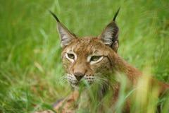 De lynx royalty-vrije stock afbeeldingen