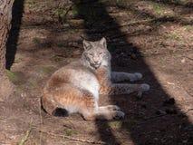 De lynx ontspant in de zon royalty-vrije stock foto's