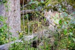 De lynx RyÅ› van de Lodjurlynx Royalty-vrije Stock Afbeelding