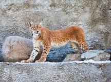 De lynx tegen een concrete muur Stock Fotografie