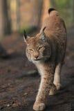 De lynx van Approching Stock Afbeelding