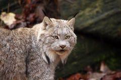 De Lynx van Canada Royalty-vrije Stock Fotografie