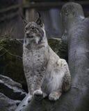 De Lynx van Canada Stock Afbeeldingen