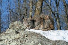 De Lynx van Canada in de Sneeuw Stock Foto