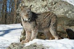 De Lynx van Canada in de Sneeuw Royalty-vrije Stock Foto