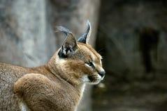 De Lynx van Caracal Stock Fotografie