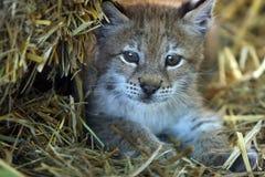 De Lynx van de baby Royalty-vrije Stock Foto's