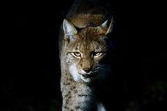 De lynx van de lynx Royalty-vrije Stock Foto