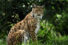 De lynx van de lynx Stock Fotografie