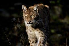 De lynx van de lynx Royalty-vrije Stock Afbeelding