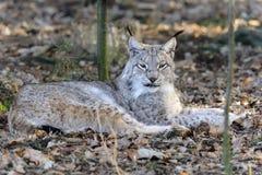 De lynx van de lynx Stock Foto's