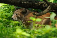 De Lynx van de slaap Royalty-vrije Stock Foto