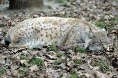 De Lynx van de slaap Stock Afbeeldingen