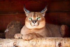 De lynx van de steppe Stock Afbeelding