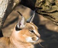 De lynx van Desrt - caracal Caracal Royalty-vrije Stock Afbeeldingen