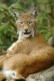 De lynx van Europaean Stock Afbeeldingen