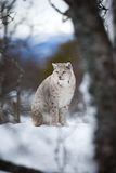 De lynx zit in de winterlandschap Royalty-vrije Stock Foto's