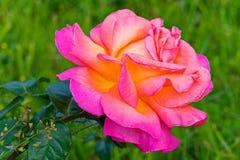 De lyxiga kronbladen av en härlig ros är som, om upplysta inifrån Härliga blommor för dina favorit- kvinnor royaltyfria bilder