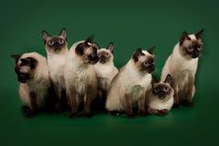 De många samma katterna poserar på en grön studiobakgrund Arkivfoto