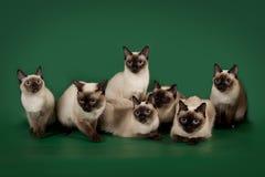 De många samma katterna poserar på en grön studiobakgrund Royaltyfri Bild