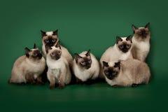 De många samma katterna poserar på en grön studiobakgrund Royaltyfria Bilder