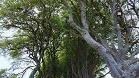 De mörka häckarna av Stranocum i nordligt - Irland stock video
