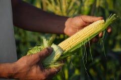 De maïskolf van de landbouwersholding ter beschikking op graangebied Stock Foto