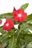 De maagdenpalmbloemen van Madagascar Royalty-vrije Stock Afbeelding