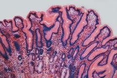 De maaghond van de cel microscopische pyloric sectie Stock Foto's