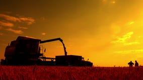 De maaimachine combineert giet de korrel in de vrachtwagen op het gebied Dorsmachine die de enkel geoogste tarwe gieten in a stock videobeelden